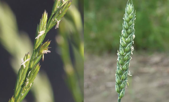 wheat and tares ripe
