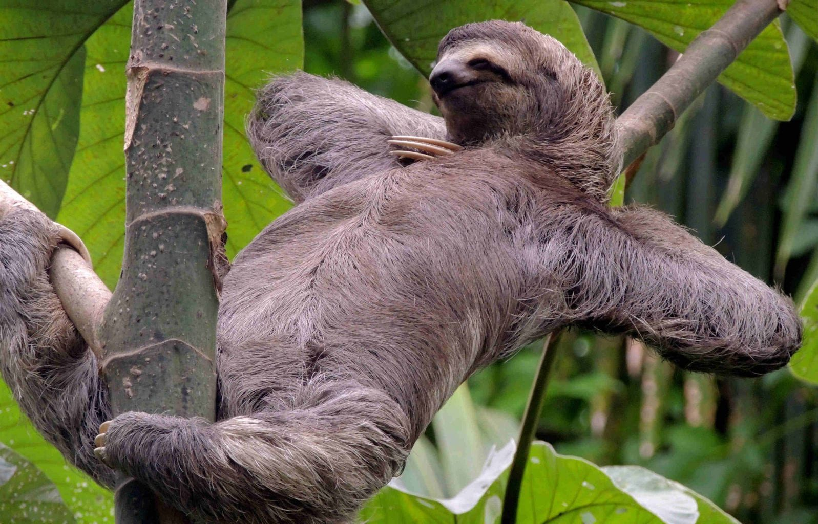 Sloth relaxing