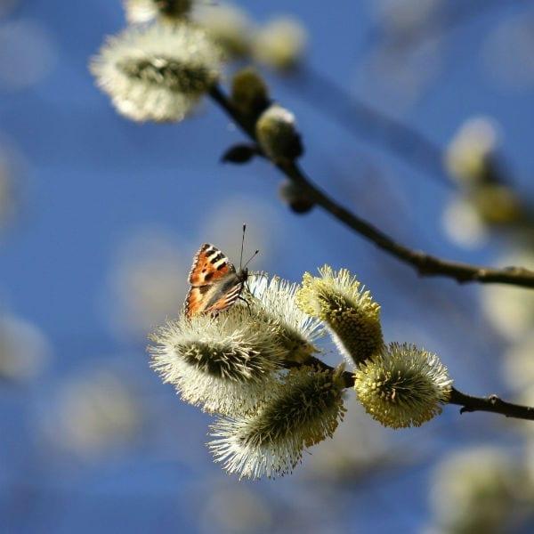 butterfly on branch Born for us, Emmanuel - Irenaeus masonry