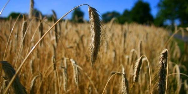 close up wheat field masonry Augustine, Free Will and God's Grace