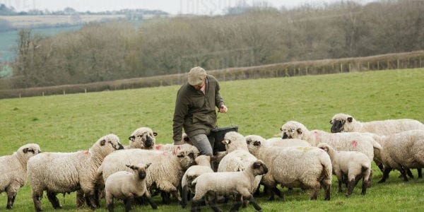 farmer in a flock of sheep why call god father masonry