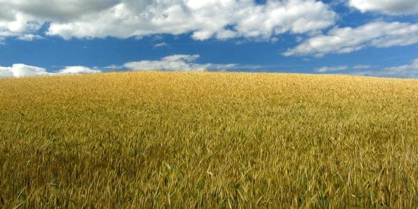 wheat field Twin Tower Terrorism and the Power of the Cross