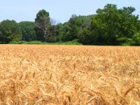 Parable of the Wheat and Tares - The Church as a Hospital for Sinners