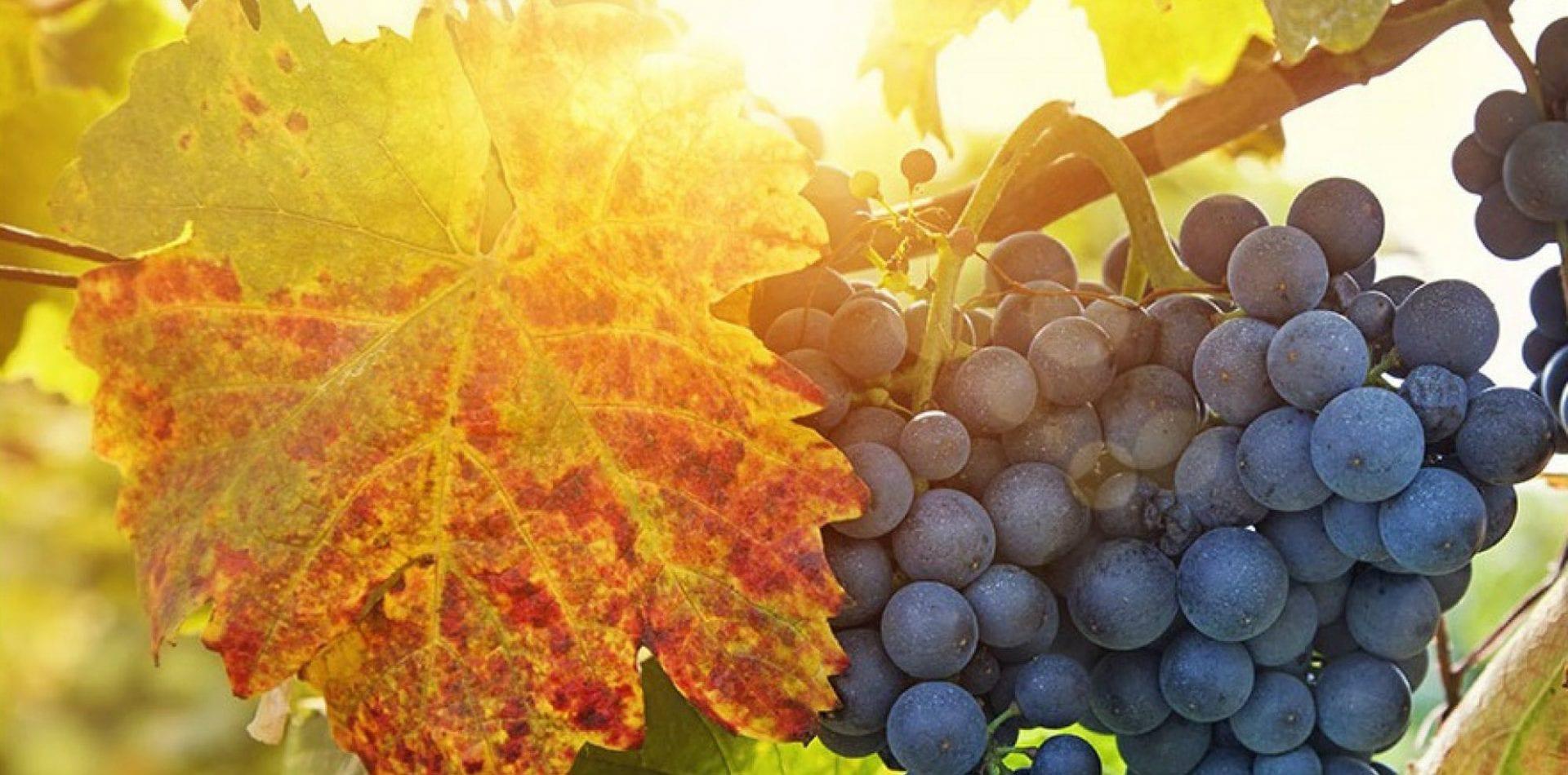 wall vineyard grapes fruit muro vigneto uva frutta