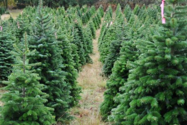 christmas tree lot pine trees purple ribbon ribbons