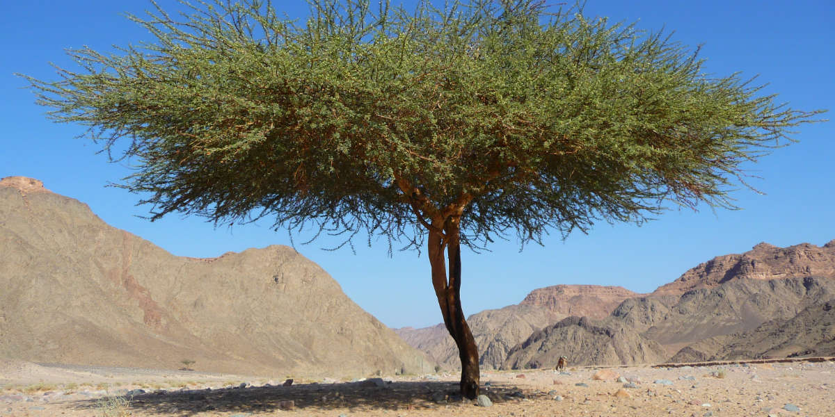 The Mustard Tree and the Kingdom of God