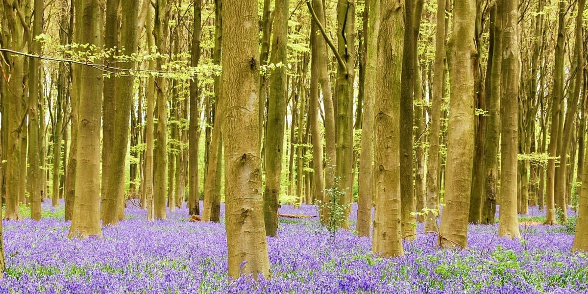bluebells in the forest The Immaculate Conception & The Protestant Reformation facebook