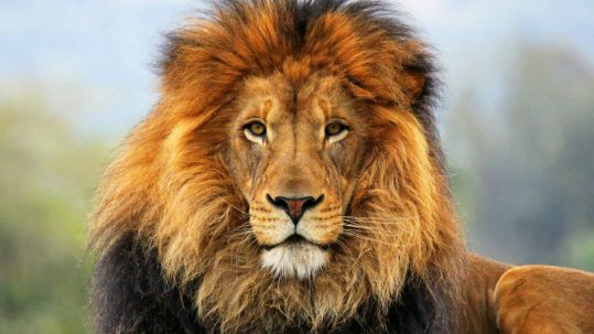 resurrection of jesus christ lion of Judah on Easter Sunday Aslan Chronicles of Narnia facebook