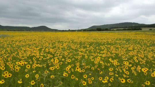 field of sunflowers wilderness image