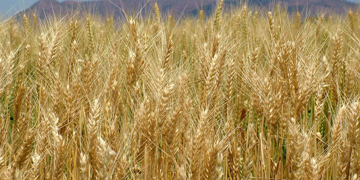 field of wheat facebook