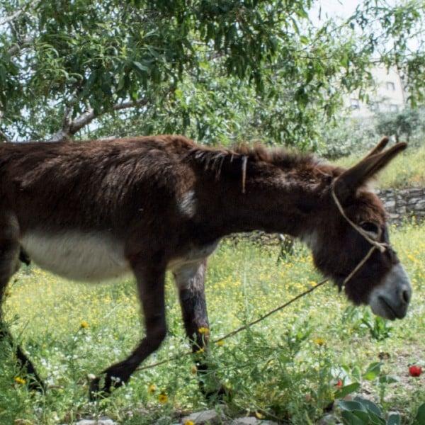 donkey palm sunday road hosanna son of david