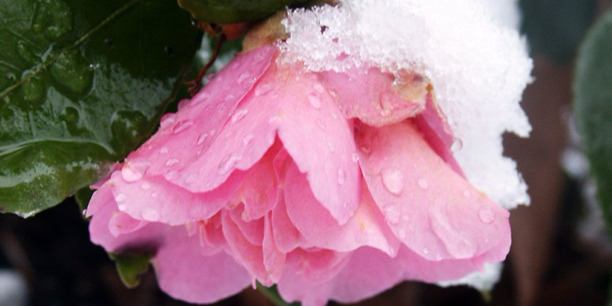 pink flower snow advent hope NOSEOONPAGE